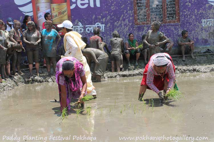 Rice - Paddy Planting Festival in Pokhara